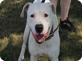 Great Dane Mix Dog for adoption in Decatur, Illinois - JOE