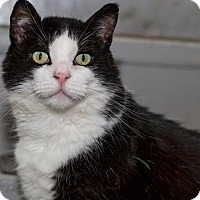 Domestic Shorthair Cat for adoption in Lombard, Illinois - Oreo