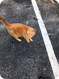 Domestic Mediumhair Cat for adoption in Hollywood, Florida - ELLA