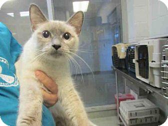 Domestic Mediumhair Cat for adoption in Oklahoma City, Oklahoma - LAYLA