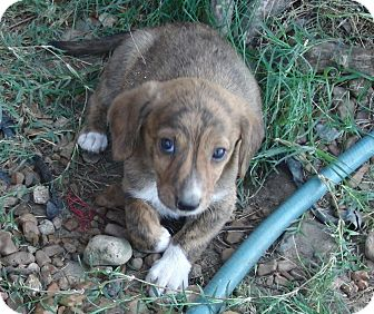 Mountain Cur/Dachshund Mix Puppy for adoption in Melbourne, Arkansas ...