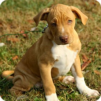 Boone | Adopted Puppy | DG | Windham, NH | Boxer/American ...