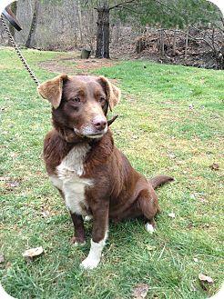 Border Collie/Labrador Retriever Mix Dog for adoption in Hazard, Kentucky - Shelby