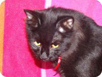 Maine Coon Kitten for adoption in Scottsdale, Arizona - Night- gorgeous BIG kitten