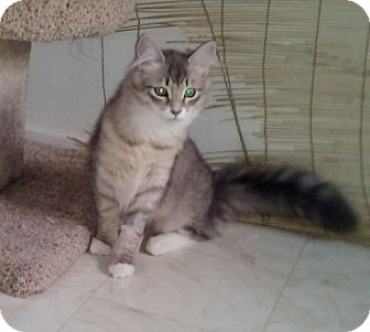 Maine Coon Kitten for adoption in San Fernando Valley, California - Fluff