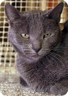 Russian Blue Cat for adoption in Tucson, Arizona - Tuki