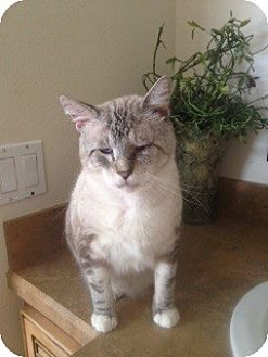 Siamese Cat for adoption in St. Cloud, Florida - Newman
