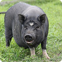 Pig (Potbellied) for adoption in Saugerties, New York - Maggie