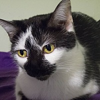 Domestic Shorthair Cat for adoption in Chicago, Illinois - Queen