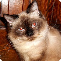 Adopt A Pet :: Mia (declaw) - Chattanooga, TN
