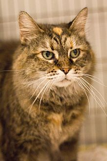 Domestic Mediumhair Cat for adoption in Grayslake, Illinois - Starr