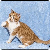 Adopt A Pet :: Pinochle - Mt. Prospect, IL