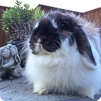 American Fuzzy Lop Mix for adoption in Watauga, Texas - Caramel
