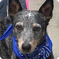 Adopt A Pet :: Runt - Texico, IL