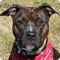 Adopt A Pet :: Brandywine - Troy, MI