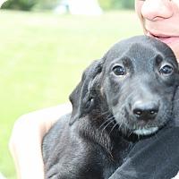 Adopt A Pet :: Swiss - Harmony, Glocester, RI
