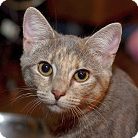 Domestic Shorthair Cat for adoption in Huntsville, Alabama - Tyra