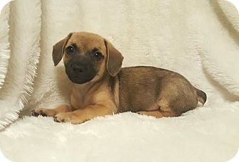 Dachshund Mix Puppy for adoption in Monroe, North Carolina - Lucca