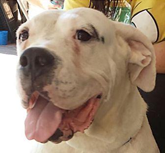 American Bulldog Dog for adoption in Porter Ranch, California - Bella Bunny (PRA)
