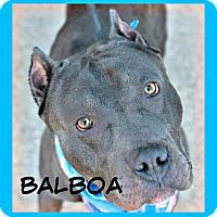 Adopt A Pet :: Balboa - Des Moines, IA