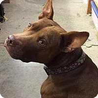 American Staffordshire Terrier Mix Dog for adoption in Southbury, Connecticut - Lola