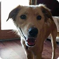 Golden Retriever Mix Dog for adoption in San Antonio, Texas - TATYANA