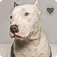 Adopt A Pet :: Indigo - Inglewood, CA