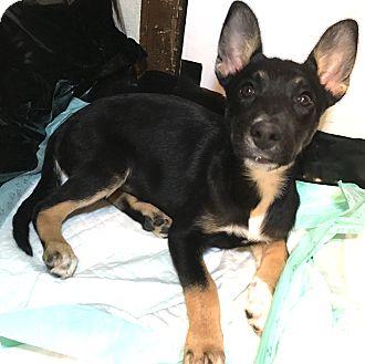 German Shepherd Dog Mix Dog for adoption in Fort Collins, Colorado - Daphne (DENVER)