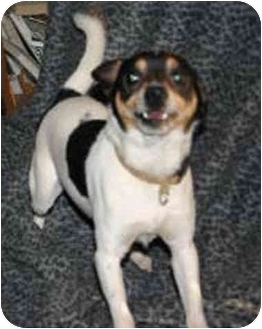 Rat Terrier/Beagle Mix Dog for adoption in Carmel, Indiana - Prance