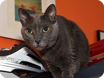 Russian Blue Cat for adoption in Brooklyn, New York - Sugar Daddy