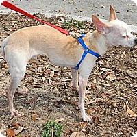 Chihuahua/Chihuahua Mix Dog for adoption in Umatilla, Florida - Ne' Ne'