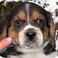 Adopt A Pet :: Yankee Doodle - Novi, MI