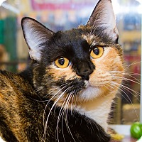 Calico Cat for adoption in Irvine, California - Cecilia
