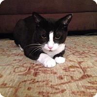 Domestic Shorthair Cat for adoption in Alexandria, Virginia - Piglet