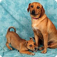 Adopt A Pet :: Justina Beaglemix - St. Louis, MO