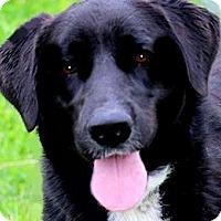 Adopt A Pet :: KADIE(WOW! GORGEOUS!! - Wakefield, RI