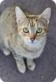 Domestic Shorthair Cat for adoption in Ortonville, Michigan - Peaches