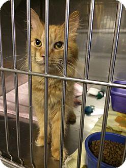 Domestic Longhair Cat for adoption in Byron Center, Michigan - Jacinda