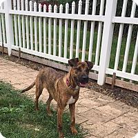 Adopt A Pet :: Tazz - New Oxford, PA