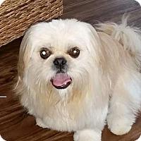 Adopt A Pet :: Gandalf - Inver Grove, MN
