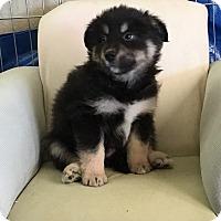 Adopt A Pet :: Hoss - Encino, CA