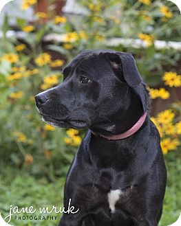 Labrador Retriever/Mountain Cur Mix Dog for adoption in Middletown, Delaware - Camille