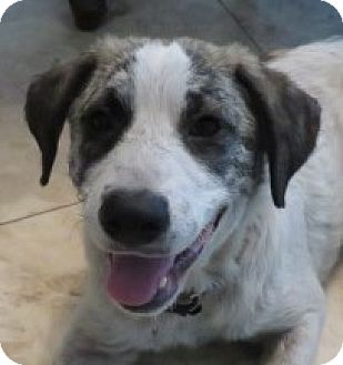 Anatolian Shepherd/Australian Shepherd Mix Dog for adoption in St Petersburg, Florida - Doogie!  Easy Going
