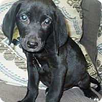 Beagle/Labrador Retriever Mix Puppy for adoption in Eastpoint, Florida - Fabian