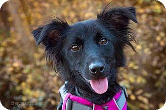 Border Collie/Flat-Coated Retriever Mix Dog for adoption in Boulder, Colorado - Emma