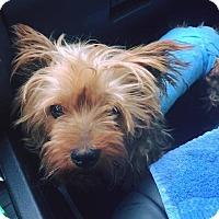 Adopt A Pet :: Ginger - MCKINNEY, TX