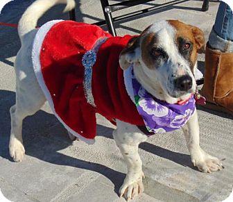 Corgi/Basset Hound Mix Dog for adoption in San Diego, California - Christmas