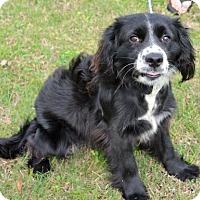 Adopt A Pet :: Oscar - Brunswick, ME