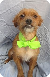 Brussels Griffon/Border Terrier Mix Dog for adoption in El Cajon, California - CHEWY