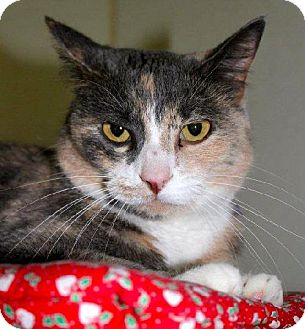 Calico Cat for adoption in Lacon, Illinois - Elli